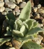 Verbascum thapsus, Mullein